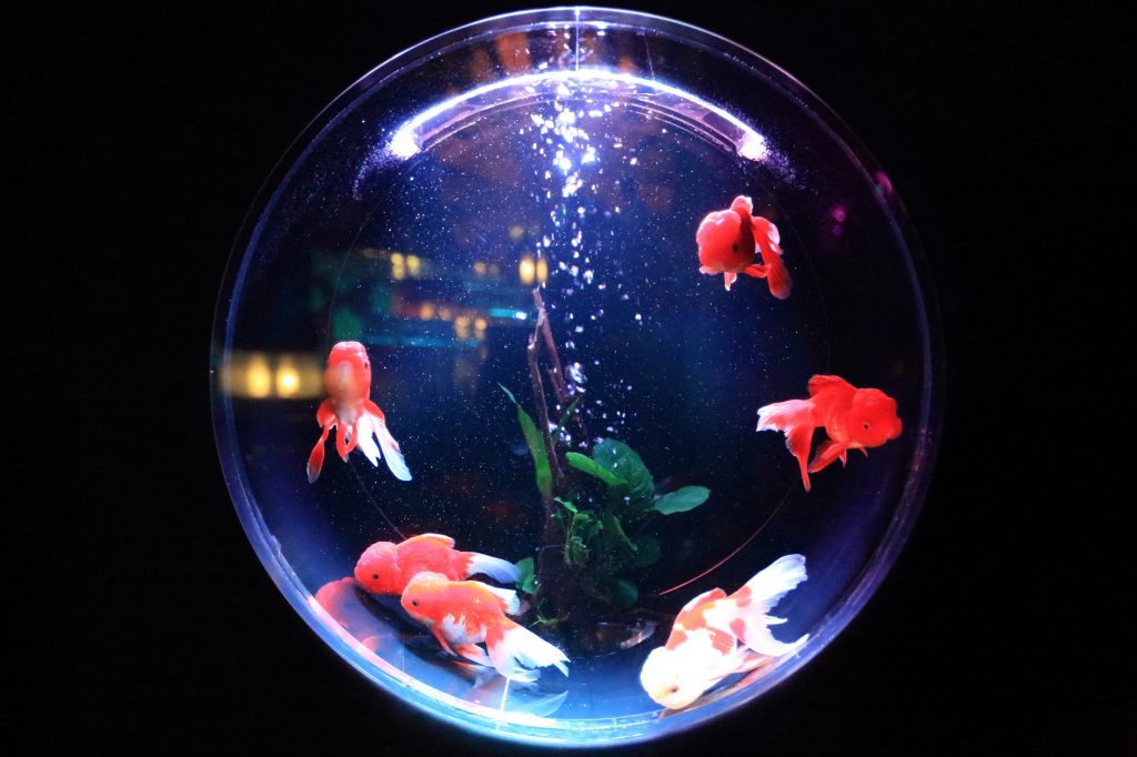 fish-in-fishbowl